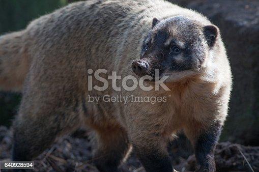 A ring tailed coati walks around his territory