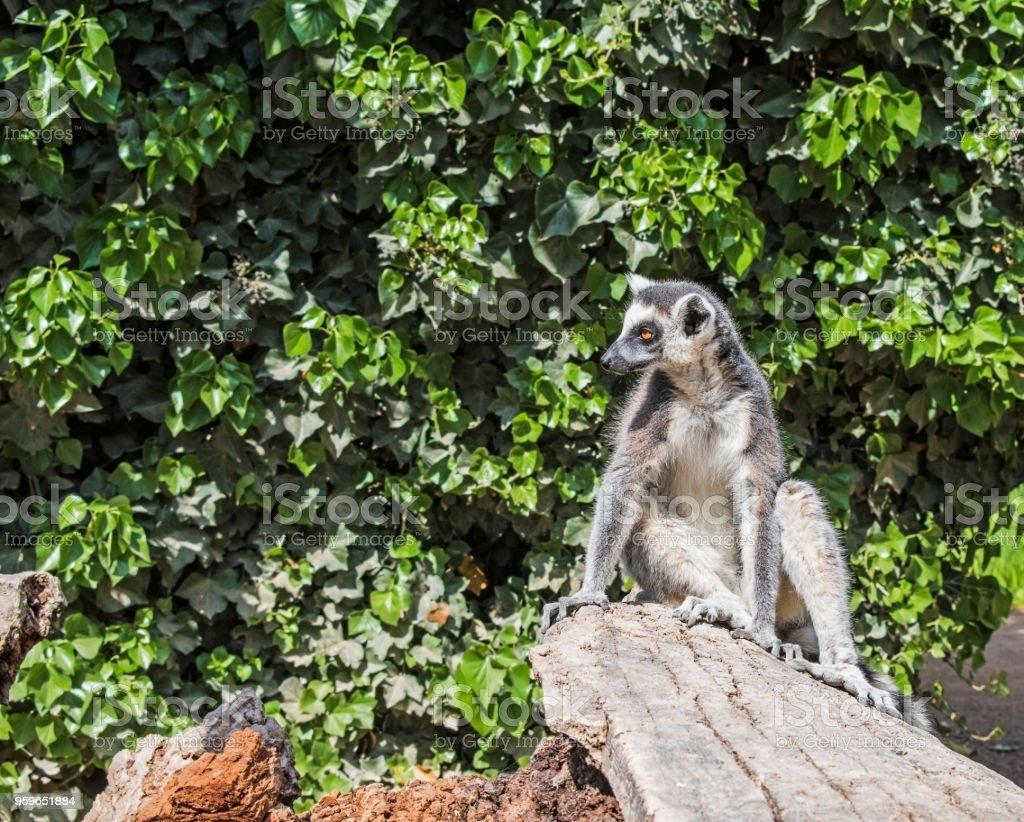 Una catta de lemur de cola anillada sentado en un árbol - Foto de stock de Aire libre libre de derechos