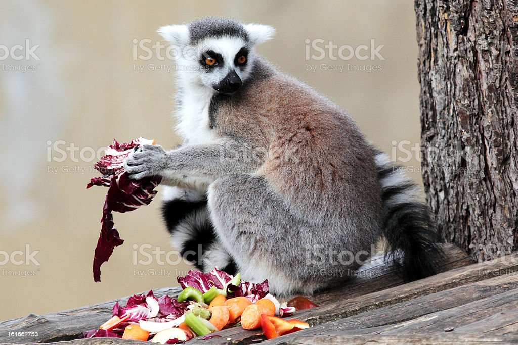 Ring-tailed lemur (Lemur catta) eating fruits and vegetables royalty-free stock photo