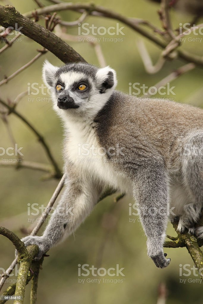 Ring-tailed lemur in a tree royalty-free stock photo