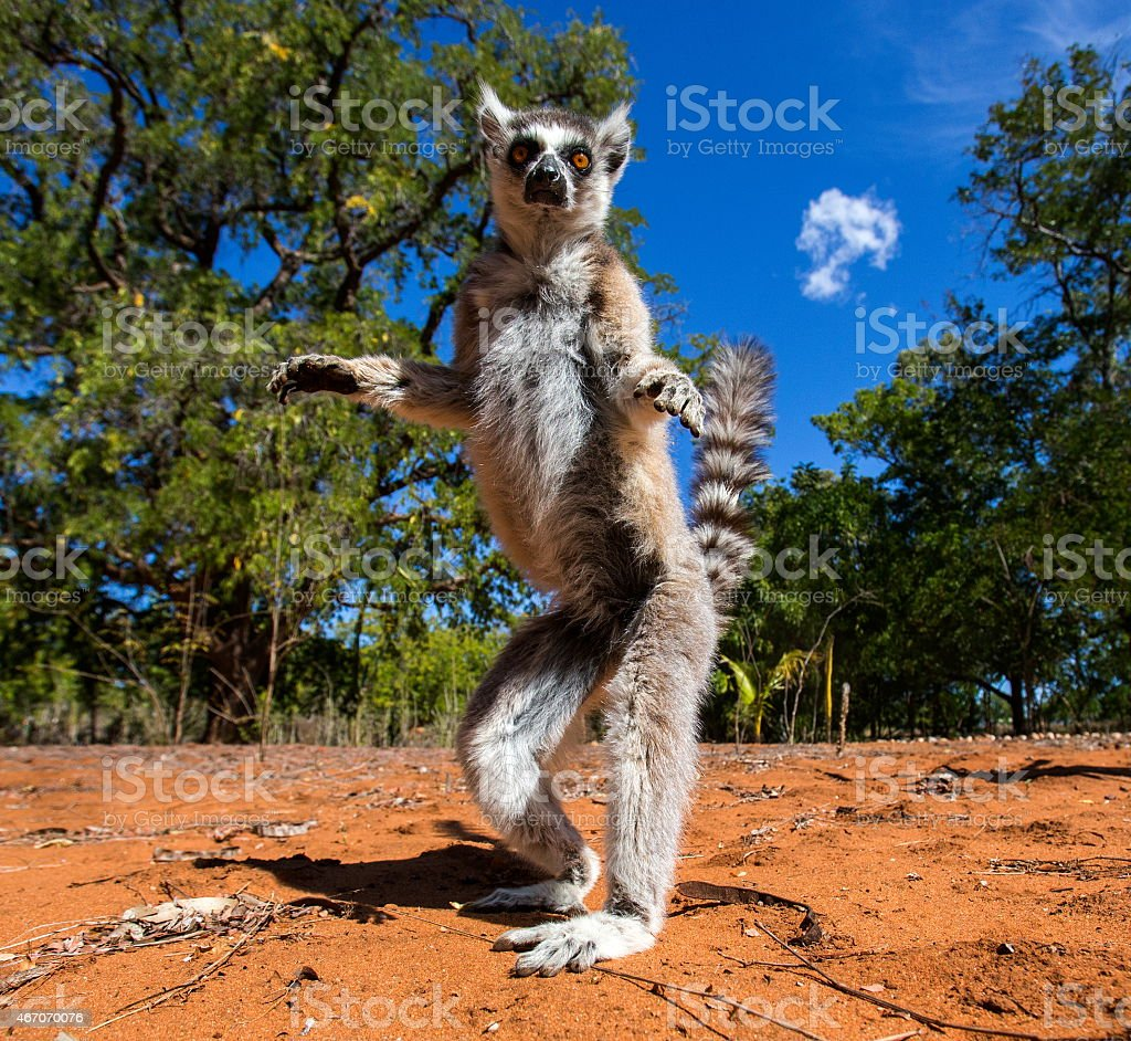 Ring-tailed lemur in Madagascar stock photo