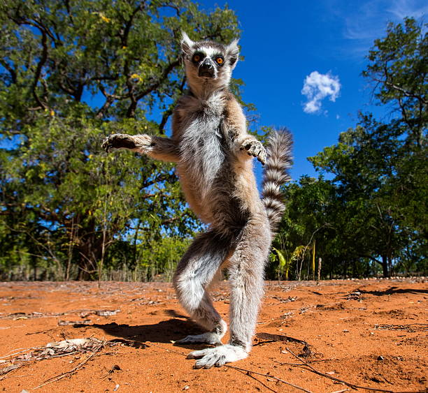 Ring-tailed lemur in Madagascar stock photo