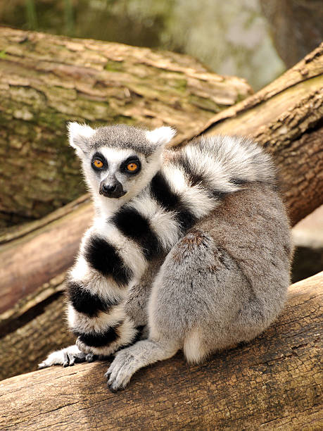 Ring-tailed lemur is sitting on a tree trunk stock photo
