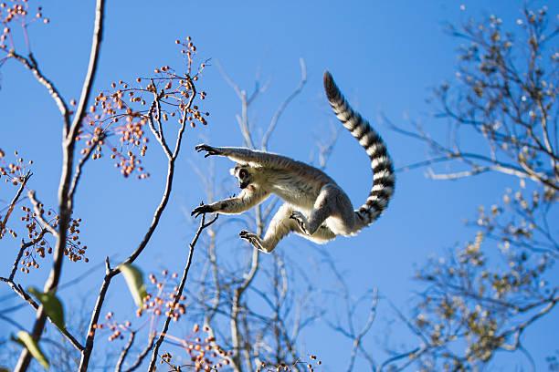ring-tailed lemur jumping from branch to branch - lemur bildbanksfoton och bilder
