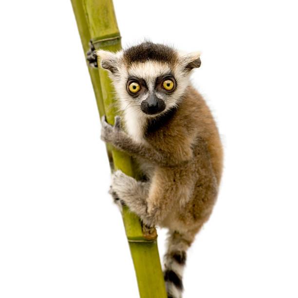 ring-tailed lemur (6 weeks) - lemur_catta - lemur bildbanksfoton och bilder