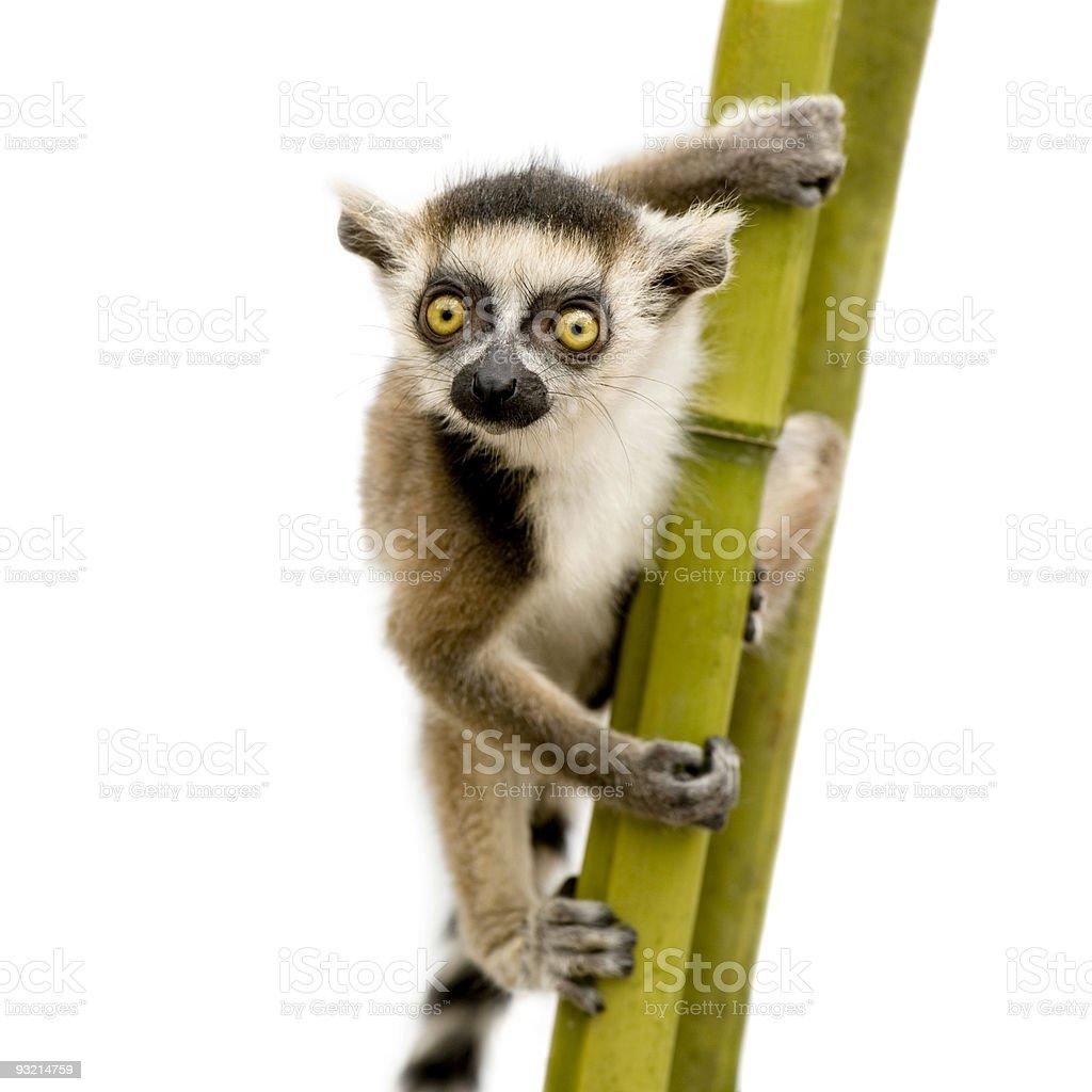 Ring-tailed Lemur (6 weeks) - Lemur_Catta stock photo