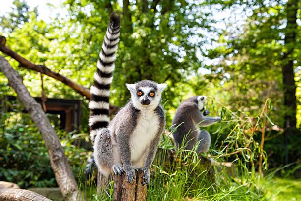 ring-tailed lemur looking at the camera - lemur bildbanksfoton och bilder