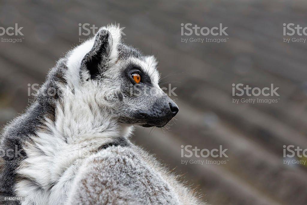 Ring-tailed lemur looking sideways stock photo
