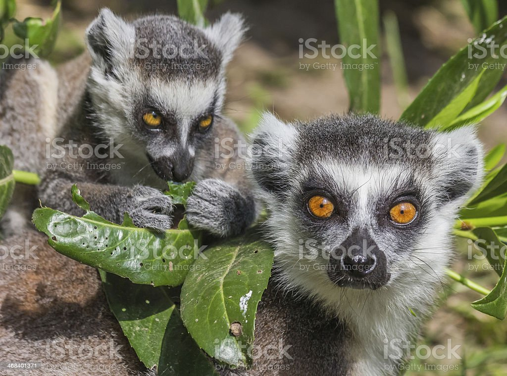 Ring-tailed lemur mother with child stock photo