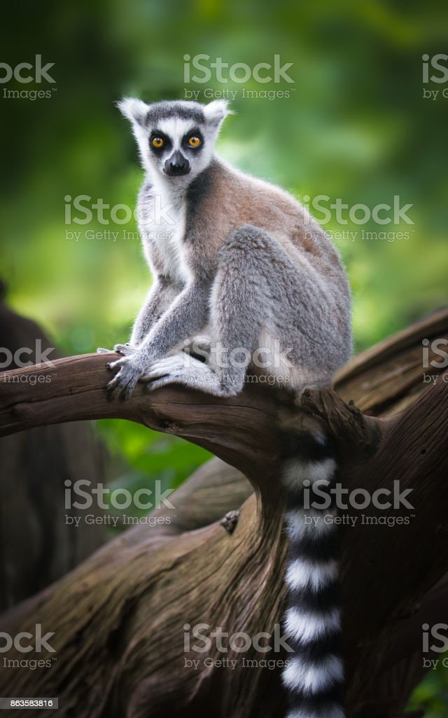 ring-tailed lemur on a branch stock photo