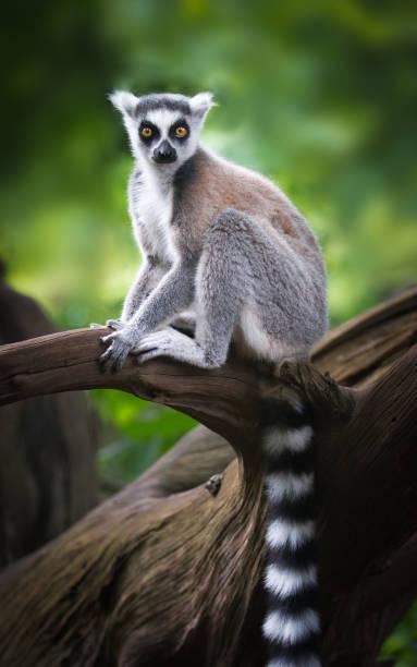ring-tailed lemur på en gren - lemur bildbanksfoton och bilder