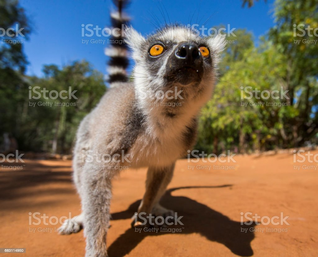 Ring-tailed lemur on the ground. stock photo