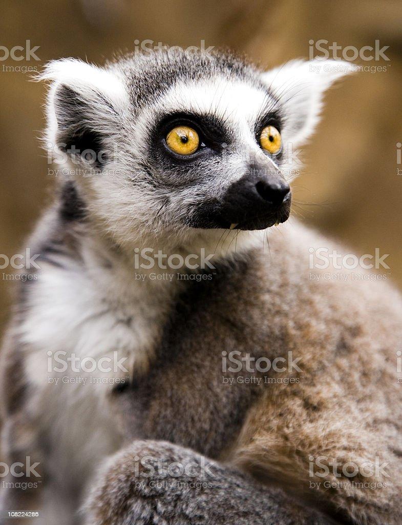 Ringtailed lemur (L. catta) royalty-free stock photo
