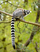 Two ring tailed lemurs (Lemur catta) on a tree branch, isolated on white background