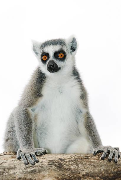 ring-tailed lemur - lemur bildbanksfoton och bilder