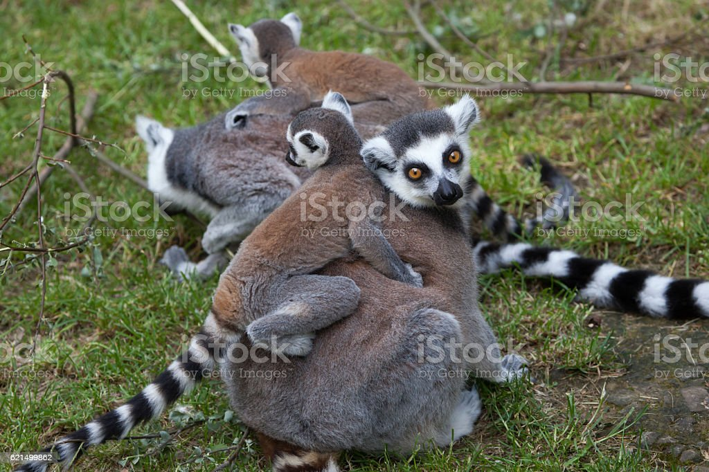 Ring-tailed lemur (Lemur catta). photo libre de droits