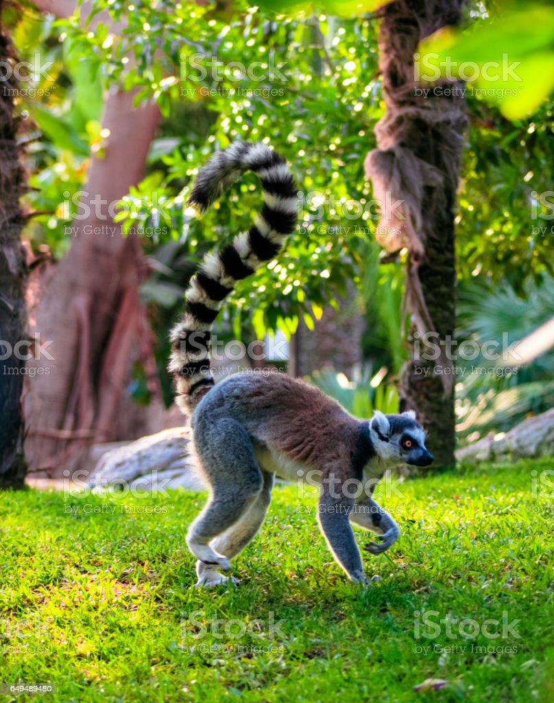 Ring-tailed Lemur (Lemur catta) stock photo
