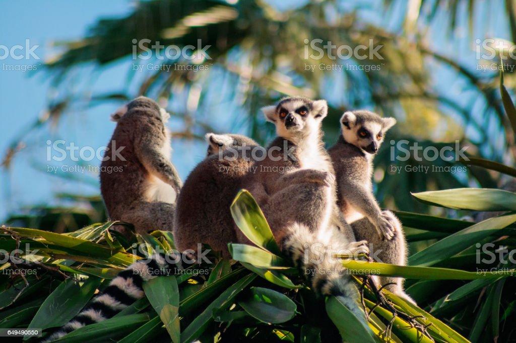 Ring-tailed Lemur (Lemur catta) royalty-free stock photo