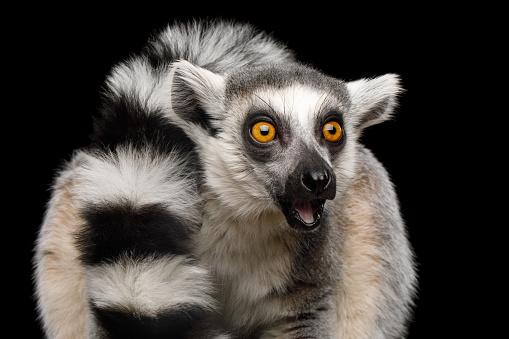 Ringtailed Lemur Stock Photo - Download Image Now - iStock