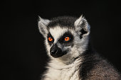 A lemur sitting in a lotus position meditating.