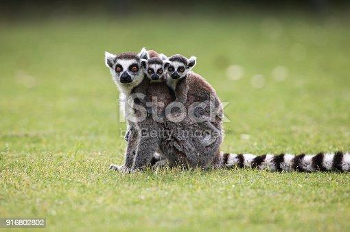 Portrait of Black and White Ruffed Lemur sitting on a tree.