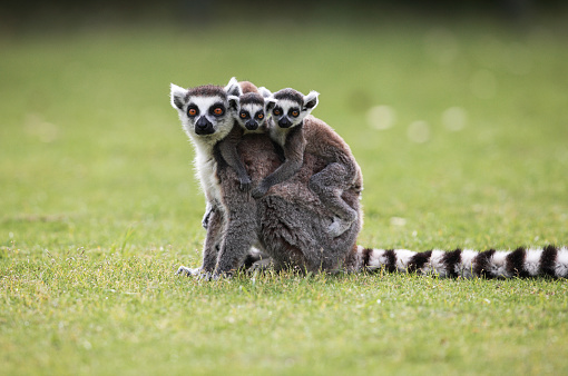 Ring-Tailed Lemur with a baby Ring Tailed Lemur on its back sitting high up in a tree.
