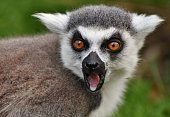 A Ring-tailed Lemur (Lemur catta), found only on the African island of Madagascar.