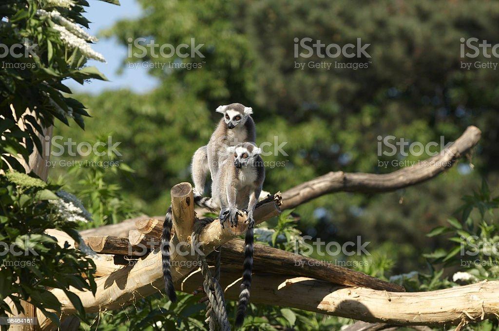 호랑이꼬리여우원숭이 royalty-free 스톡 사진