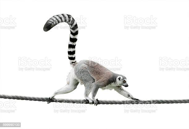 Free ring tailed lemur Images, Pictures, and Royalty-Free