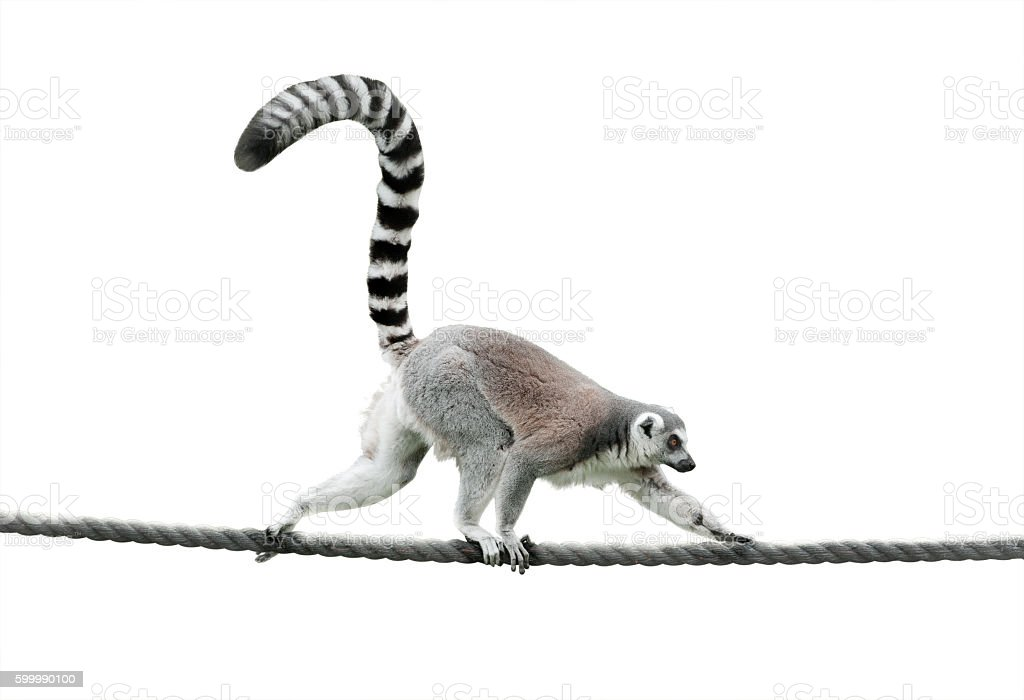 ring-tailed lemur walking on a rope stock photo