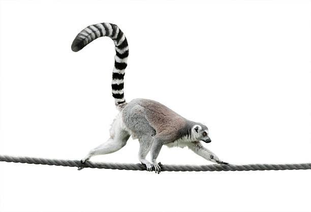 ring-tailed lemur walking on a rope - lemur bildbanksfoton och bilder