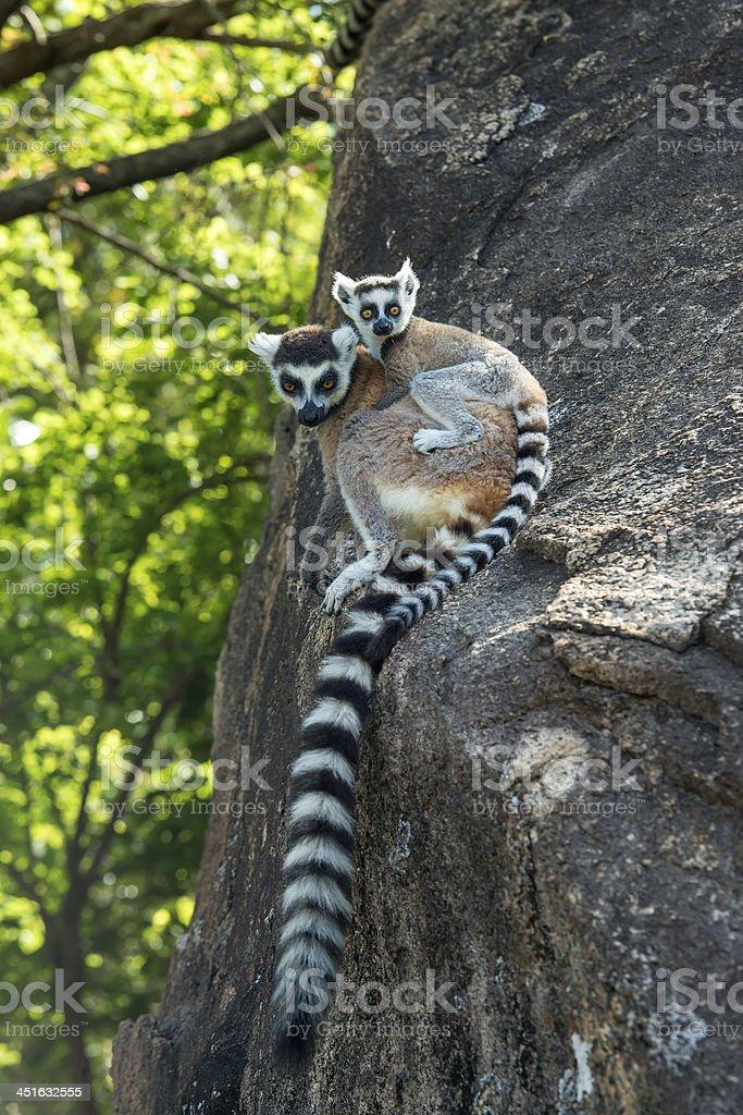 Ring-tailed lemur  (Lemur catta), wildlife shot, Madagascar stock photo