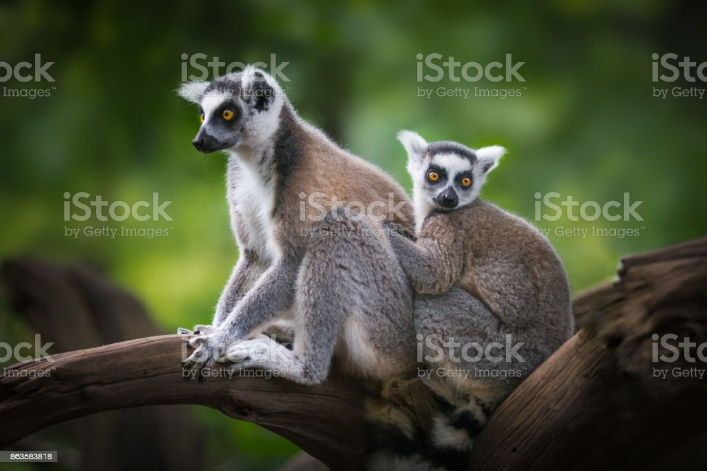 ring-tailed lemur with child stock photo