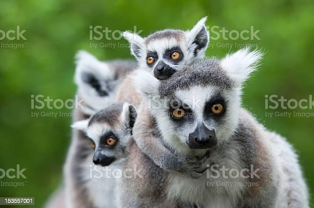 Ringtailed lemur with her cute babies picture id153557001?b=1&k=6&m=153557001&s=612x612&h= pxyknscz7hm61zrrtndz1ic9raxpagdvp64 xza9g4=