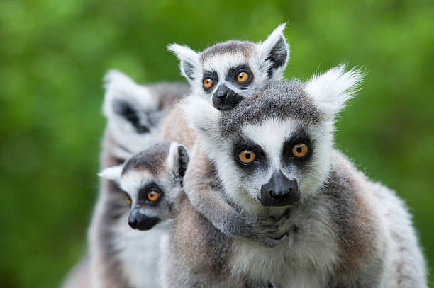 ring-tailed lemur with her cute babies close-up of a ring-tailed lemur with her cute babies (Lemur catta) animal family stock pictures, royalty-free photos & images