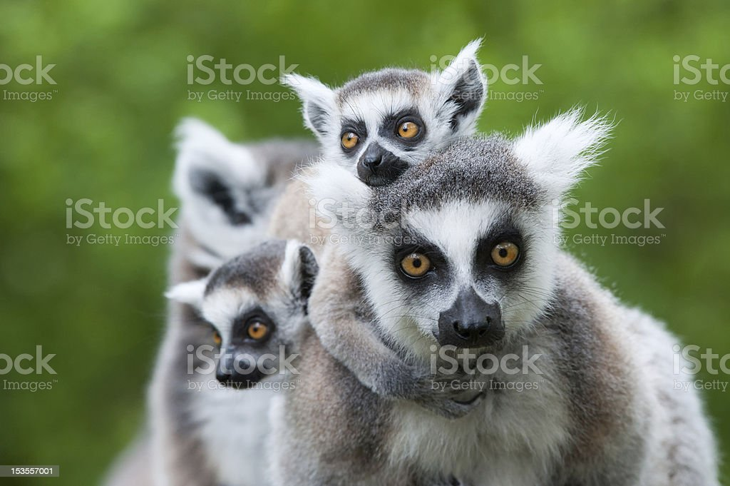 ring-tailed lemur with her cute babies stock photo