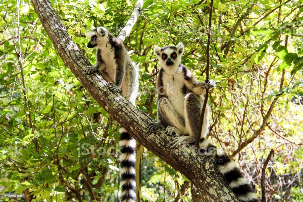 Ring-tailed lemurs in Isalo National Park, Madagascar stock photo