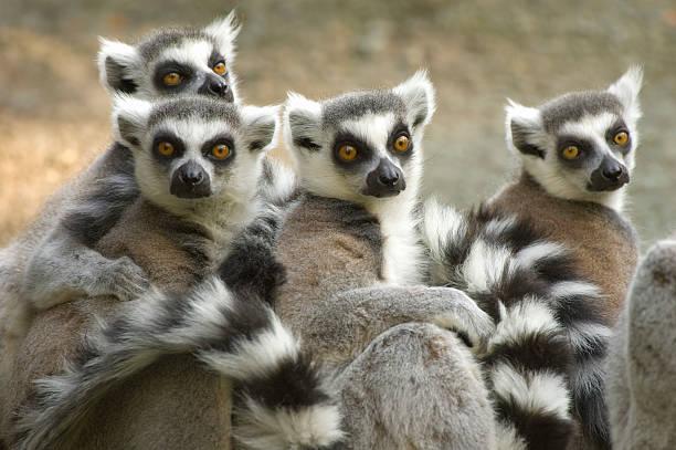 ring-tailed lemurs - lemur bildbanksfoton och bilder