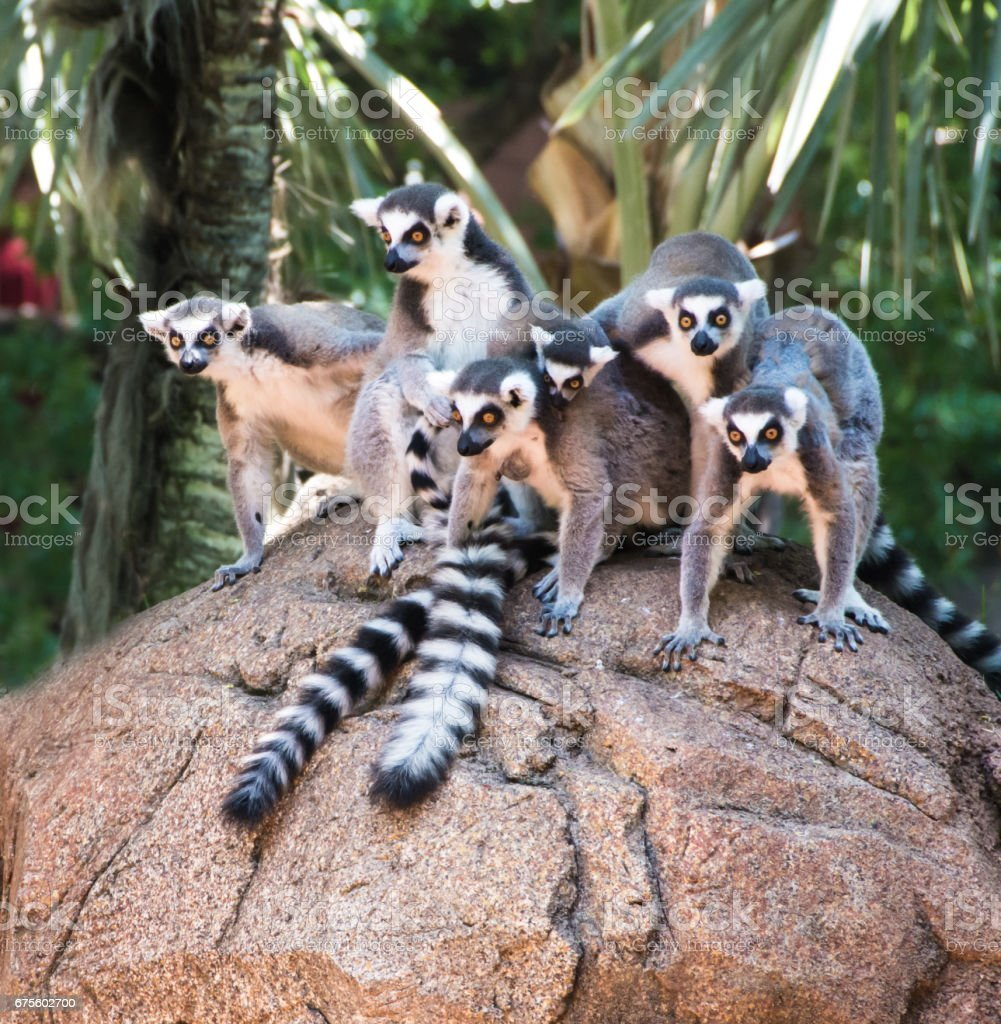 Ringtailed Lemurs photo libre de droits