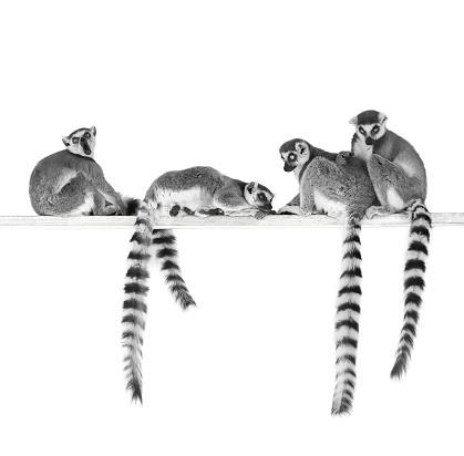 Black and white image of ring-tailed lemurs isolated on white background