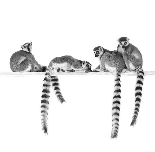 ring-tailed lemurer - lemur bildbanksfoton och bilder