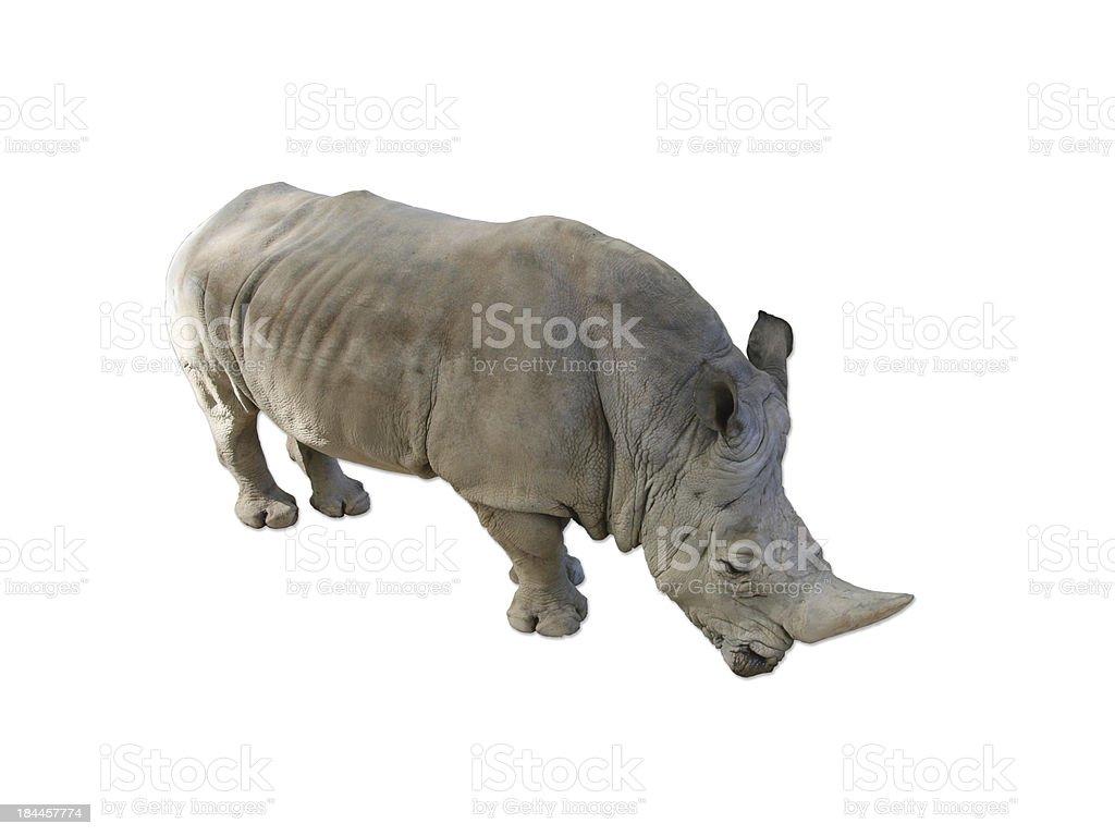 Rinoceronte blanco meridional stock photo