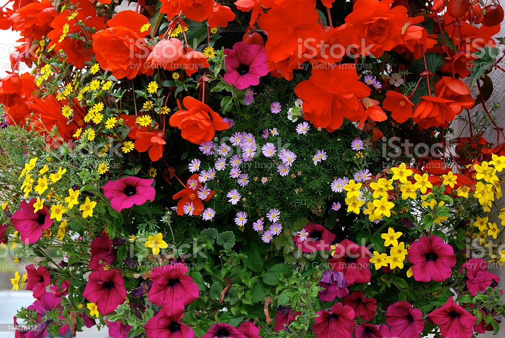 Riot of colour Hanging basket Flower Stock Photo
