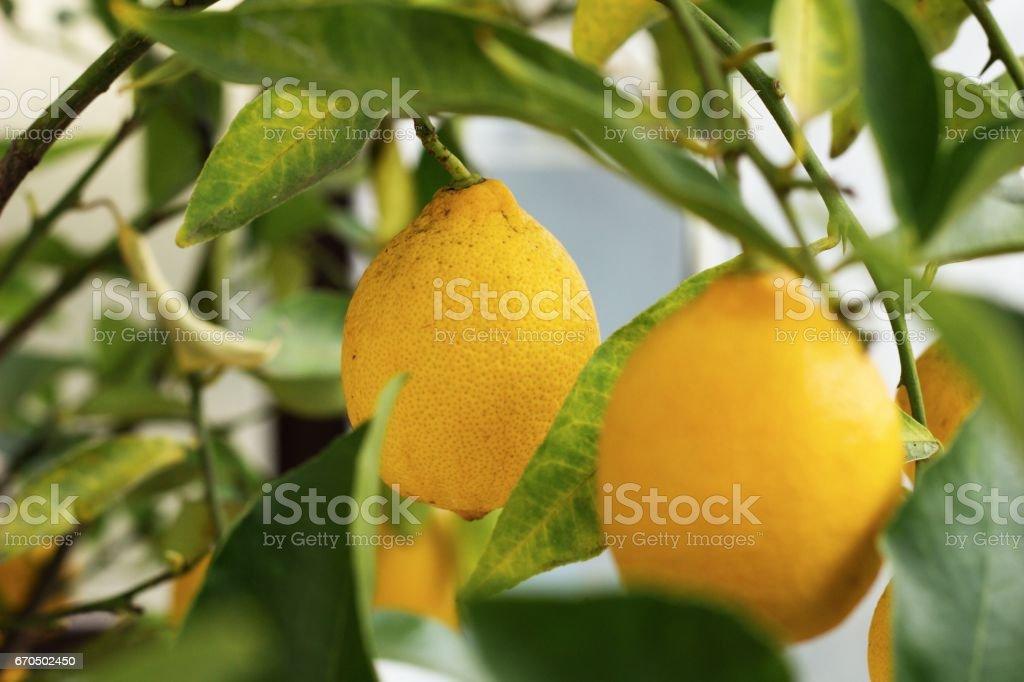 rip lemon on lemon tree stock photo
