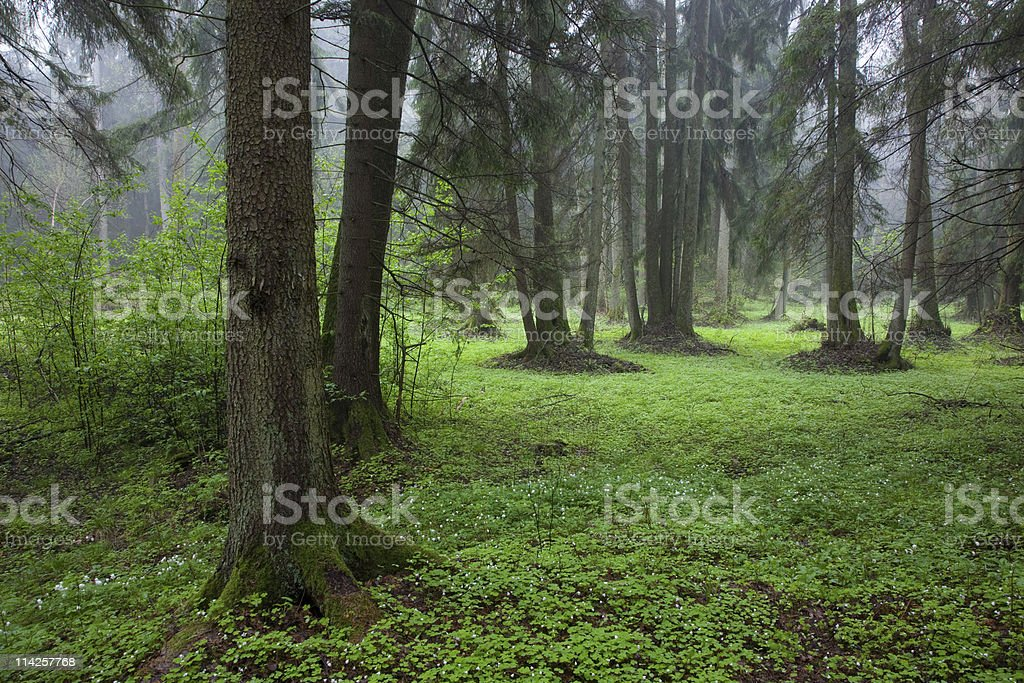 Riparian stand in springtime royalty-free stock photo