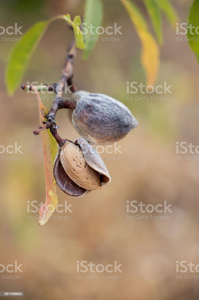 Ripe almonds on the tree branch. royalty-free stock photo