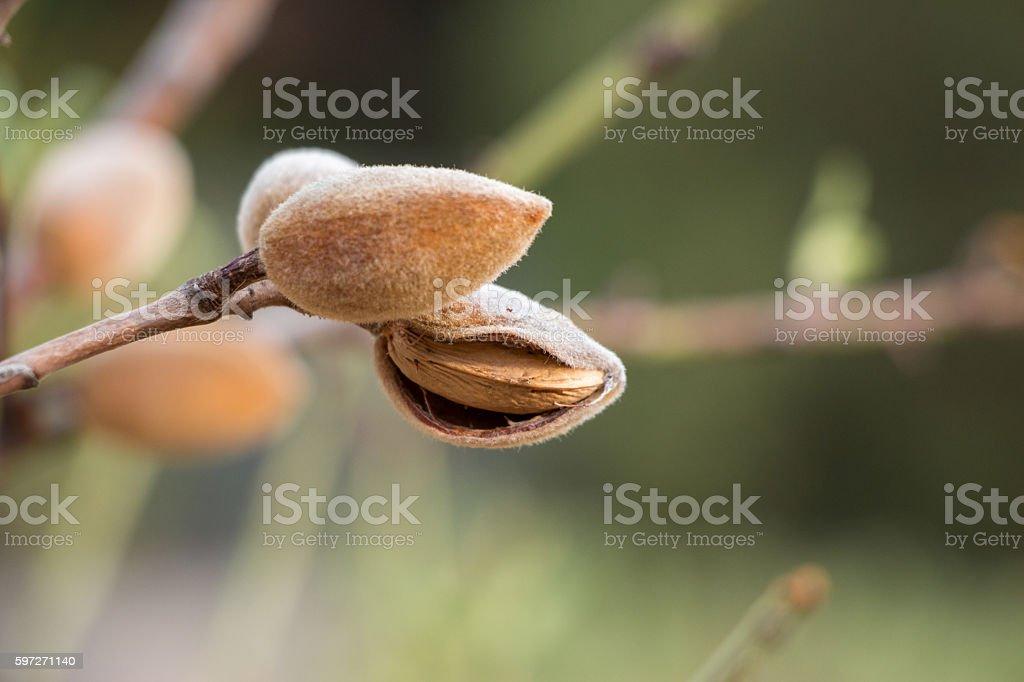 Ripe almonds on the tree branch. Lizenzfreies stock-foto