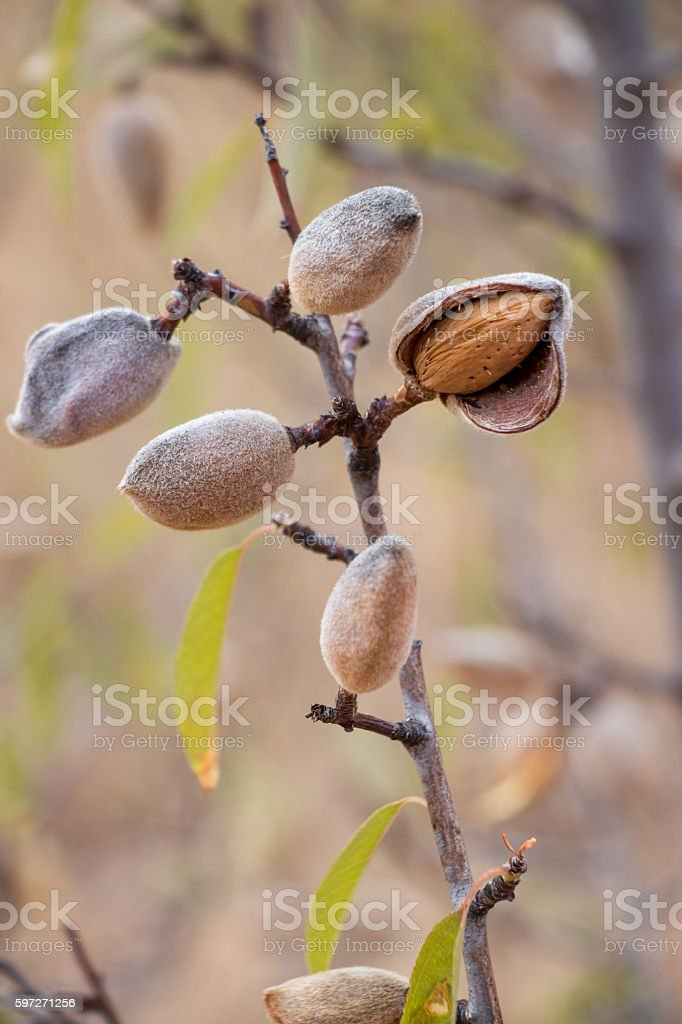 Ripe almonds on the tree branch. Lizenzfreies stock-foto