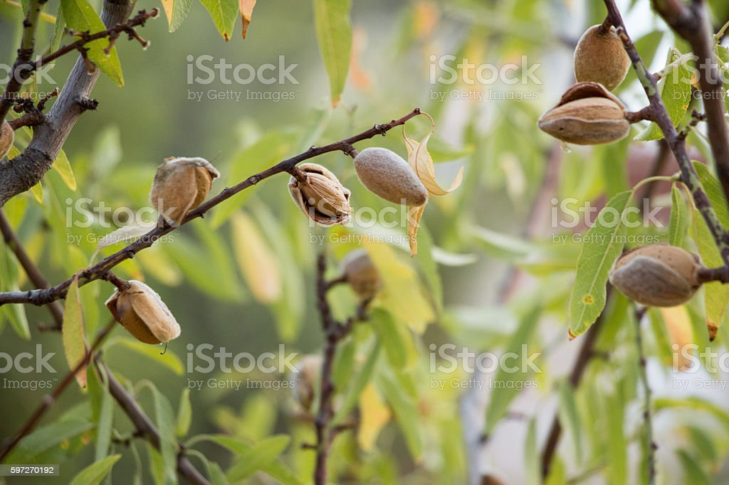 Ripe almonds on the tree branches. royalty-free stock photo