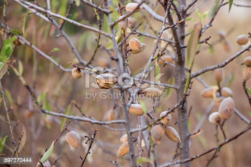 Ripe Almonds On The Tree Branches Stock Photo & More Pictures of Agriculture